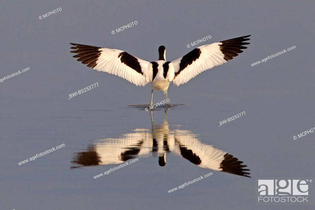 Stock Photo: pied avocet Recurvirostra avosetta, standing in shallow water stretching the wings, Spain, Balearen, Majorca.