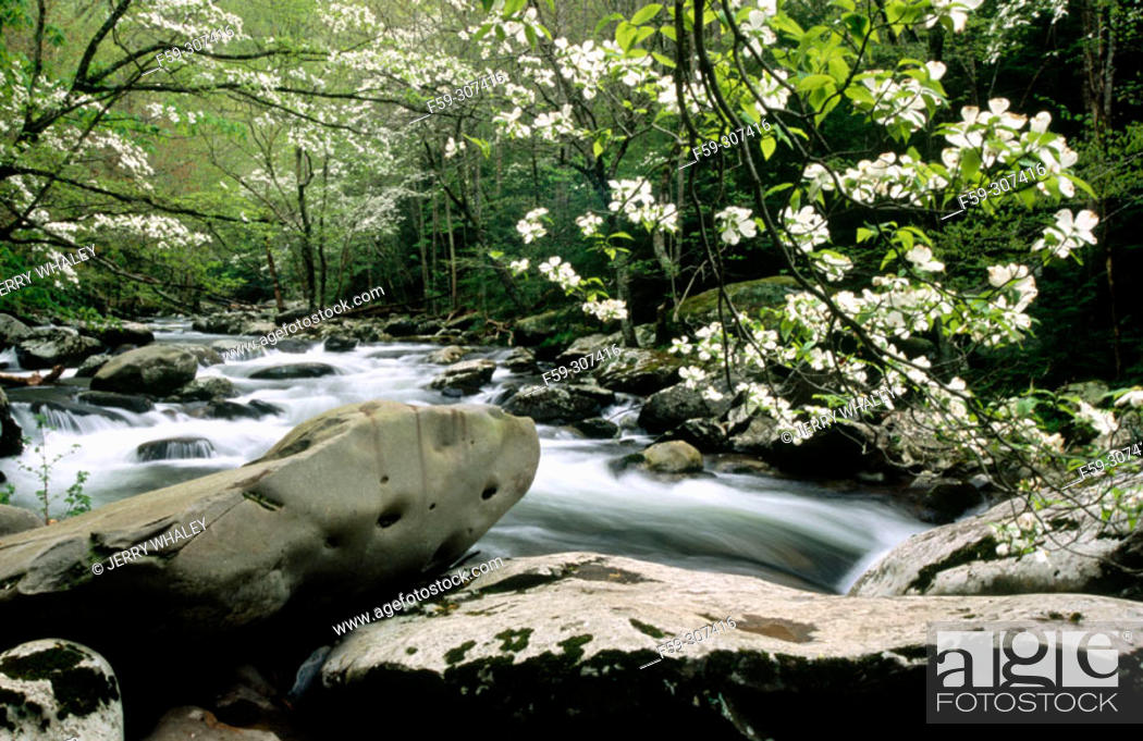 Stock Photo: Dogwoods in Tremont Area (Cornus sp.). Great Smoky Mountains National Park. Tennessee, USA.