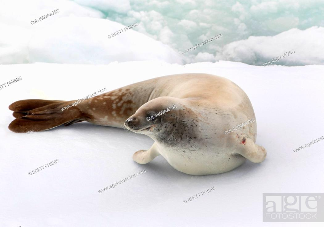 Imagen: A Crabeater Seal in the ice floe in the southern ocean, 180 miles north of East Antarctica, Antarctica.