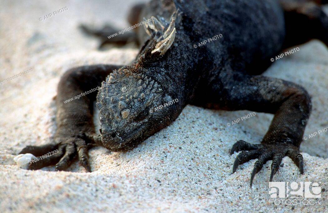 Imagen: Marine Iguana Amblyrhynchus cristatus - Galapagos Islands, Ecuador, South America.