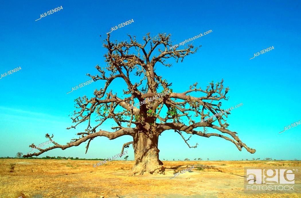 Stock Photo: Senegal - La Petite-Cote - Baobab.