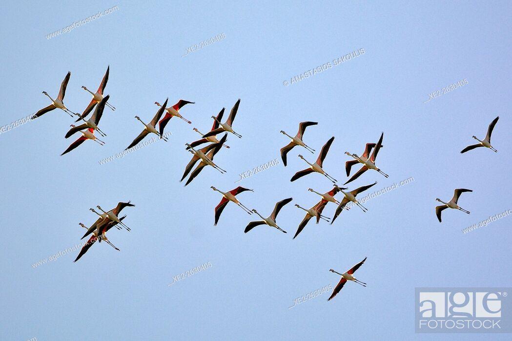 Stock Photo: Greater Flamingo Phoenicopterus roseus, Crete.