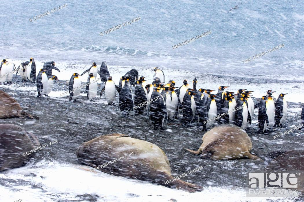 Stock Photo: Antarctic, South Georgia Island, Salysbury plains, King Penguin (Aptenodytes patagonicus), adults in the snow and the mist, with elephants seals on the beach.