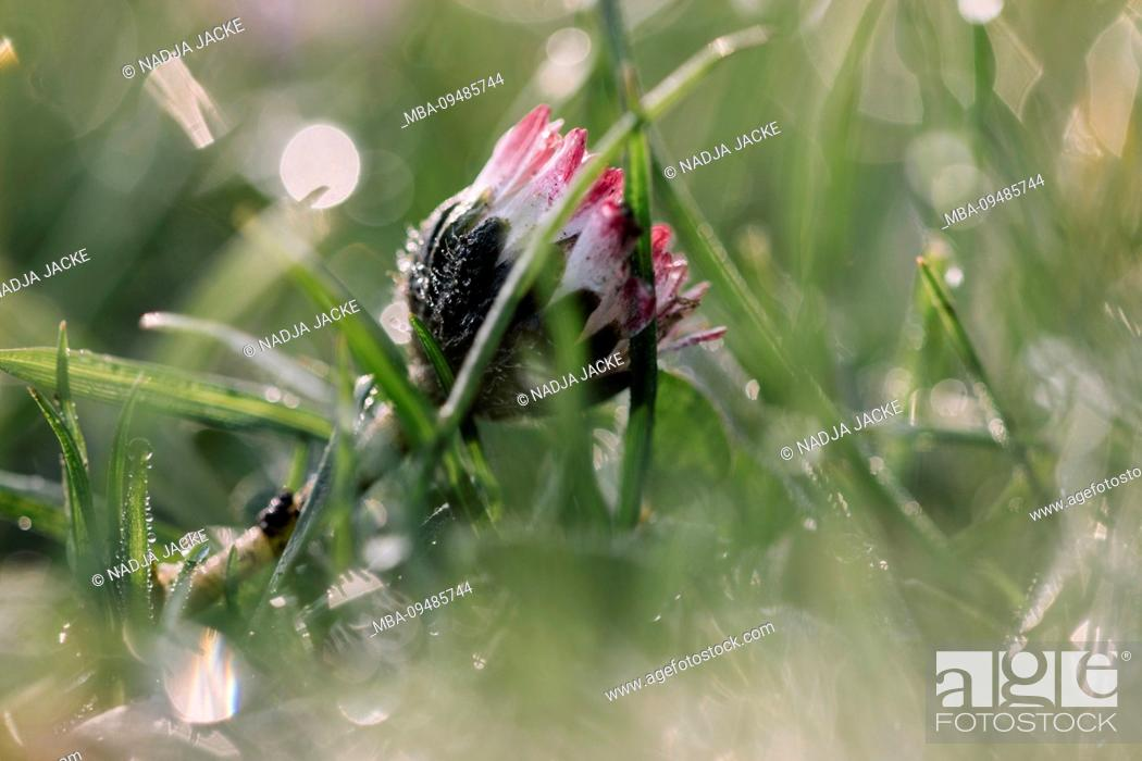 Stock Photo: Rising daisy in wet meadow, close-up, Bellis perennis.