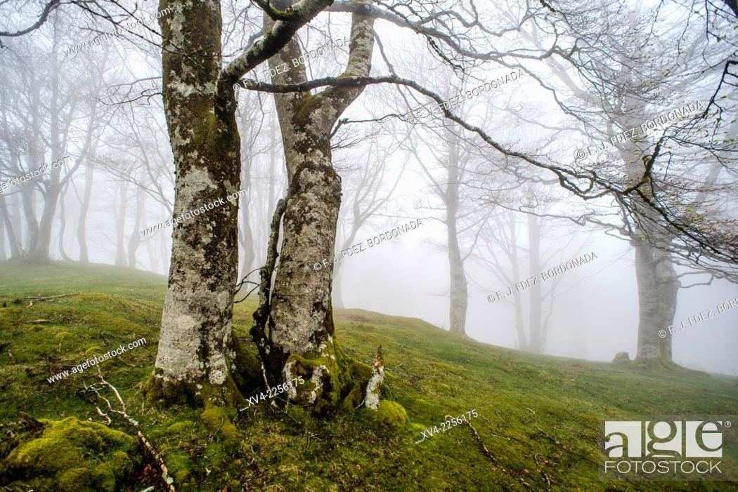 Stock Photo: Ibañeta forest at Roncesvalles pass form spanish area frontier with France.