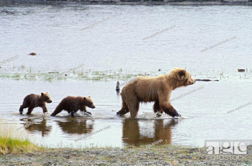 Stock Photo: North America, USA, Alaska, Katmai National Park. Brown bear mother and spring cubs (Ursus arctos) crossing the river.