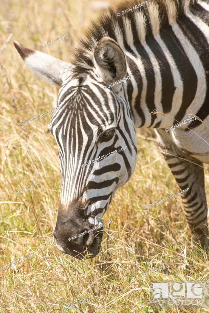Stock Photo: Burchell's Zebra, equus burchelli, Adult, Equus burcheli Equus quagga foreground. Ngorongoro Crater. Tanzania.