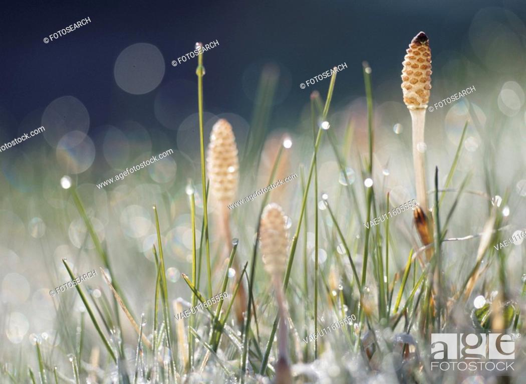 Stock Photo: A Field Horsetail And Waterdrop.