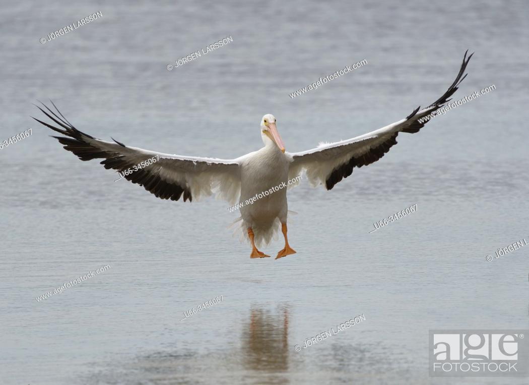 Stock Photo: American White Pelican Ding Darlin, Sanibel, Florida, USA.