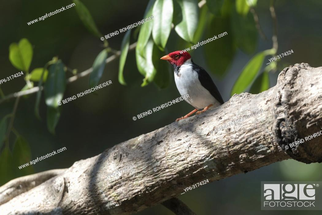 Stock Photo: Yellow-billed Cardinal (Paroaria capitata), adult perched on tree, Pantanal, Mato Grosso, Brazil.