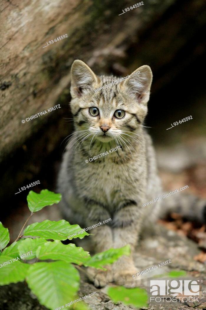 Stock Photo: European Wildcat (Felis silvestris), young. Bavarian Forest National Park, Germany.