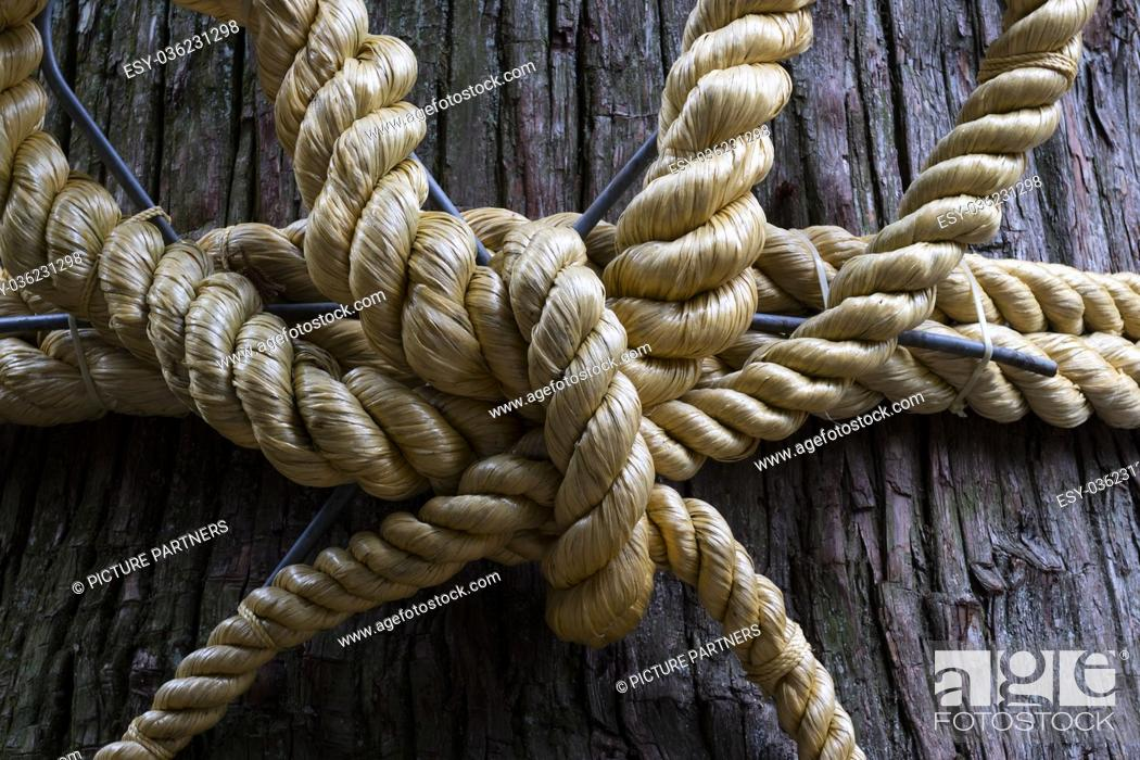 Photo de stock: Shimenawa rope on a divine tree in front of a shrine close up, Kawaguchio, Japan.