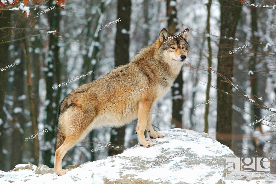 Wolf Germany timberwolf canis lupus occidentalis mackenzie valley wolf