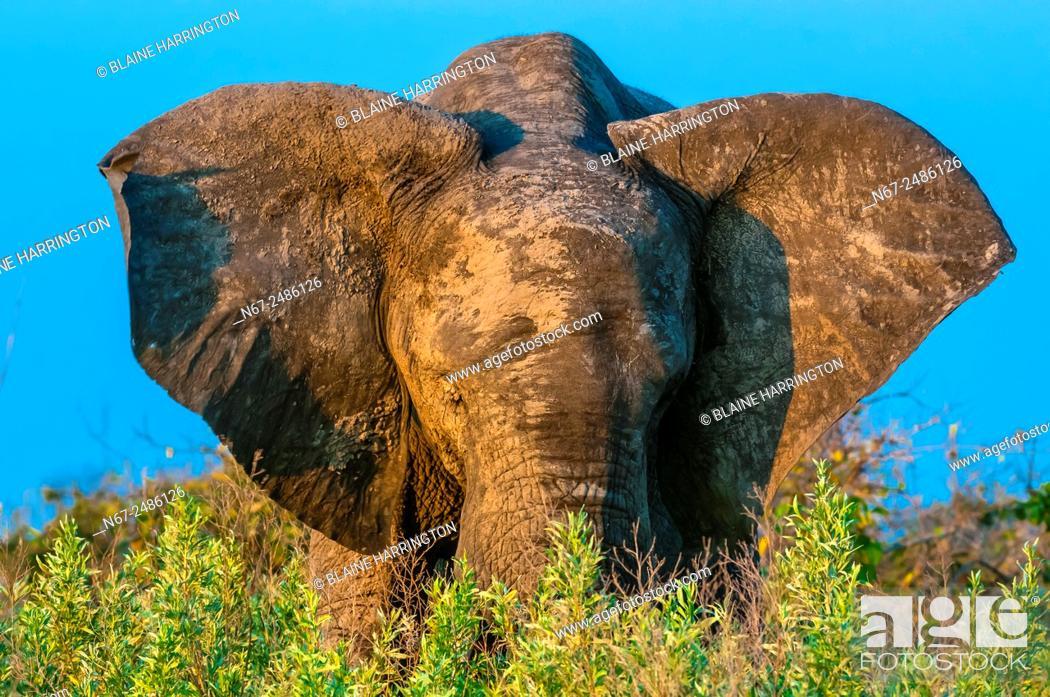 Imagen: A muddy elephant, Kwando Concession, Linyanti Marshes, Botswana.