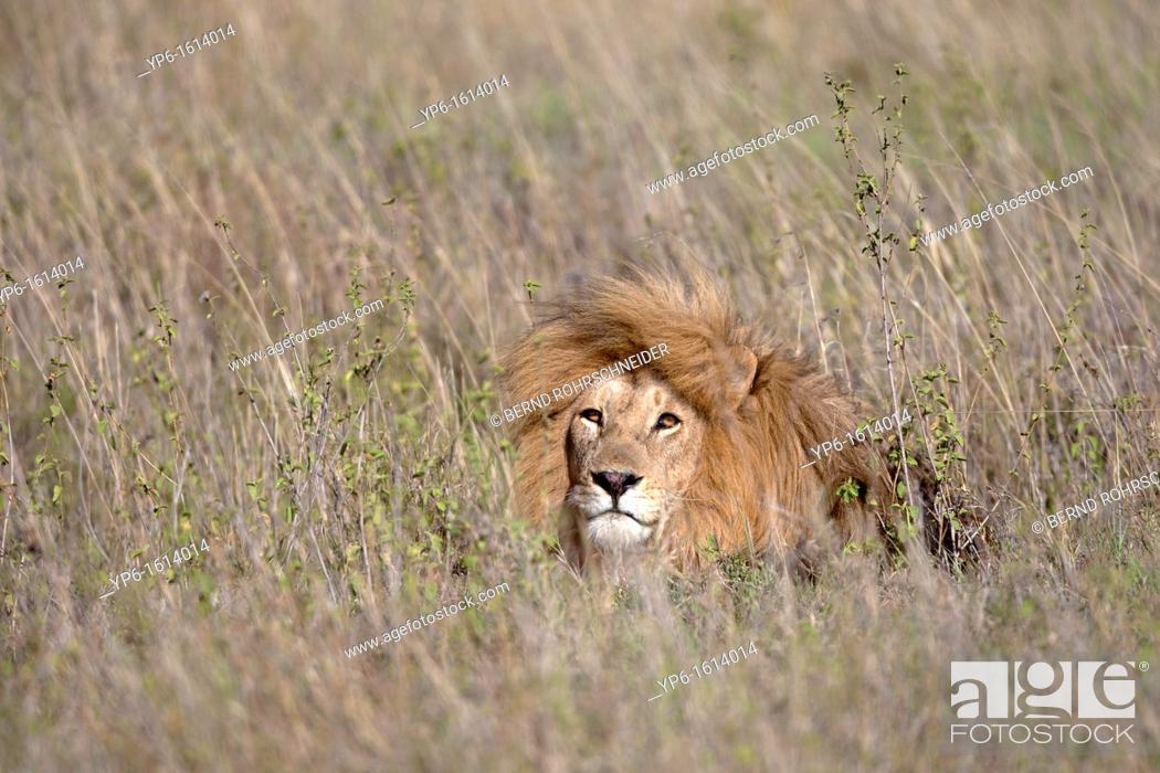 Stock Photo: male Lion Panthera leo in grass, Serengeti National Park, Tanzania.