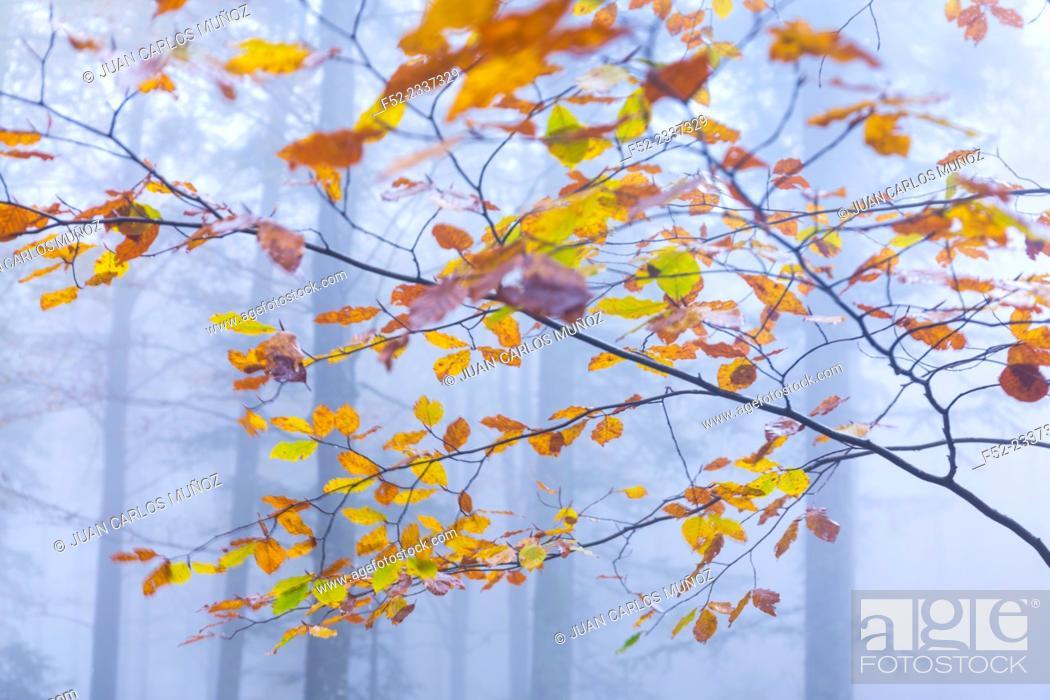 Stock Photo: Beech forest in autumn, Ilirska Bistrica, Green Karst, Slovenia, Europe.