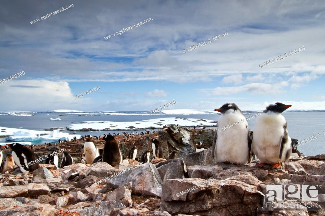 Imagen: Gentoo penguin Pygoscelis papua breeding colony on Booth Island, Antarctica, Southern Ocean  MORE INFO The gentoo penguin is the third largest of all penguins.