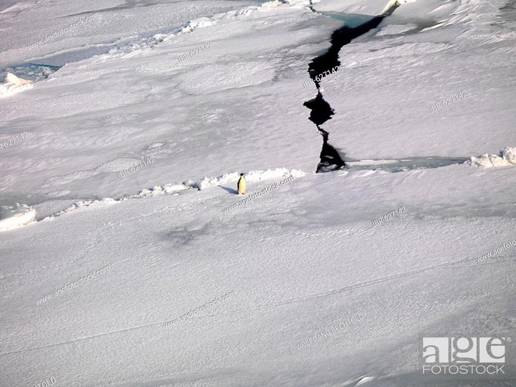 Stock Photo: Emporer Penguin (Aptenodytes forsteri) walking over sea ice off the coast of Franklin Island, Antarctica.