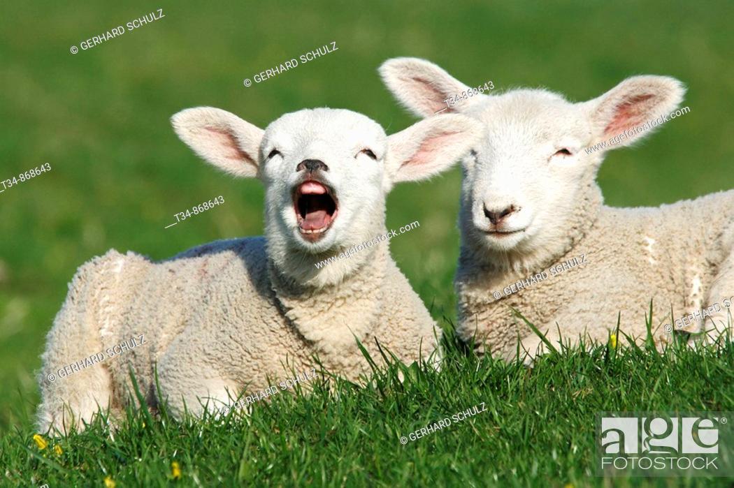 Stock Photo: Lämmer  Hausschafe , Ovis aries, Schleswig-Holstein  Deutschland , Lambs  Domestic Cheaps , Ovis aries, Schleswig-Holstein  Germany.