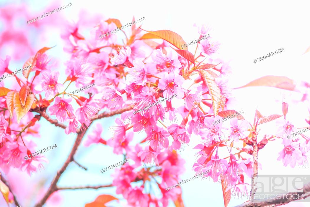 Stock Photo: Cherry Blossom in spring with soft focus, unfocused blurred spring cherry bloom, bokeh flower background, pastel and soft flower background.
