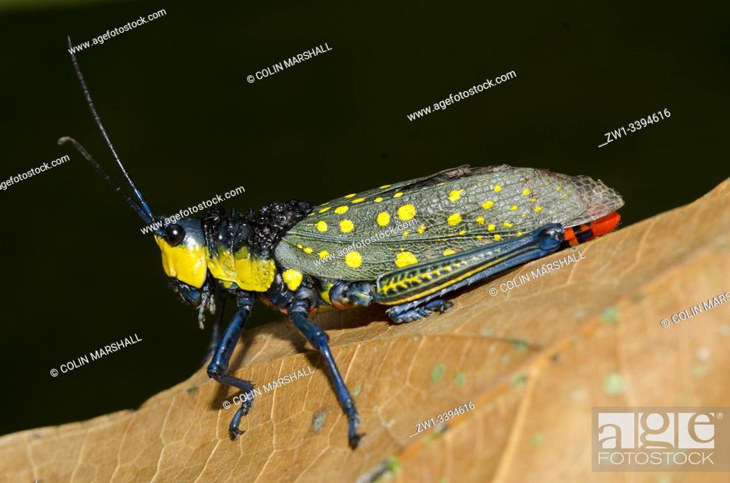 Stock Photo: Coffee Locust (Aularches miliaris, Pyrgomorphidae Family) on leaf, Klungkung, Bali, Indonesia.