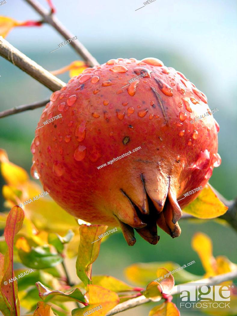 Stock Photo: Pomegranate on tree.