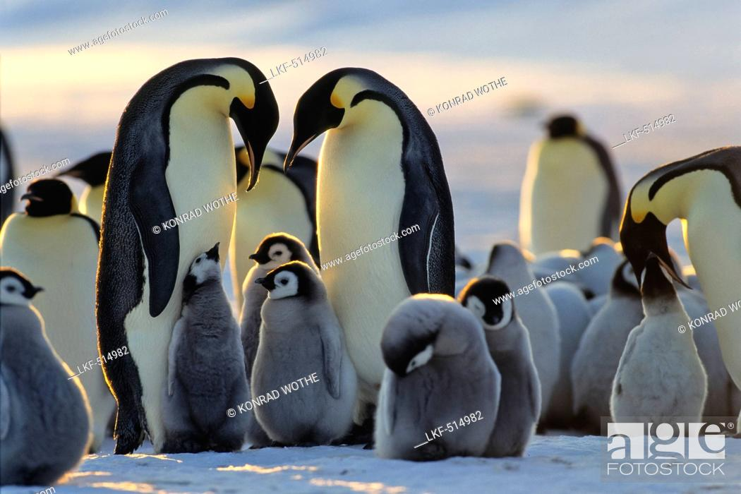 Imagen: Emperor Penguins with chicks, Aptenodytes forsteri, iceshelf, Weddell Sea, Antarctic.