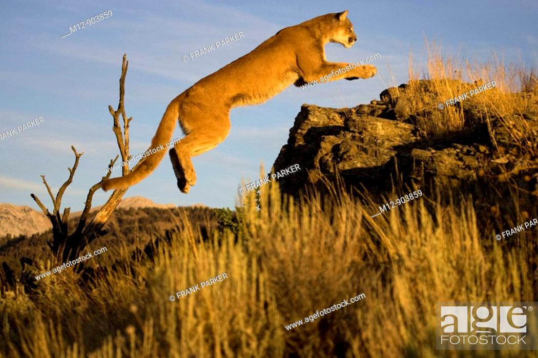Stock Photo: Cougar jumps up onto rocks in pursuit.