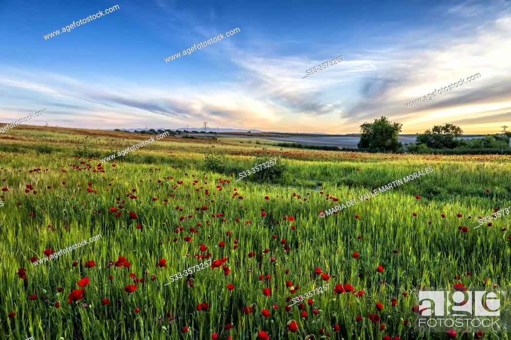 Stock Photo: Wheat field with poppies in Pinto. Madrid. Spain. Europe.