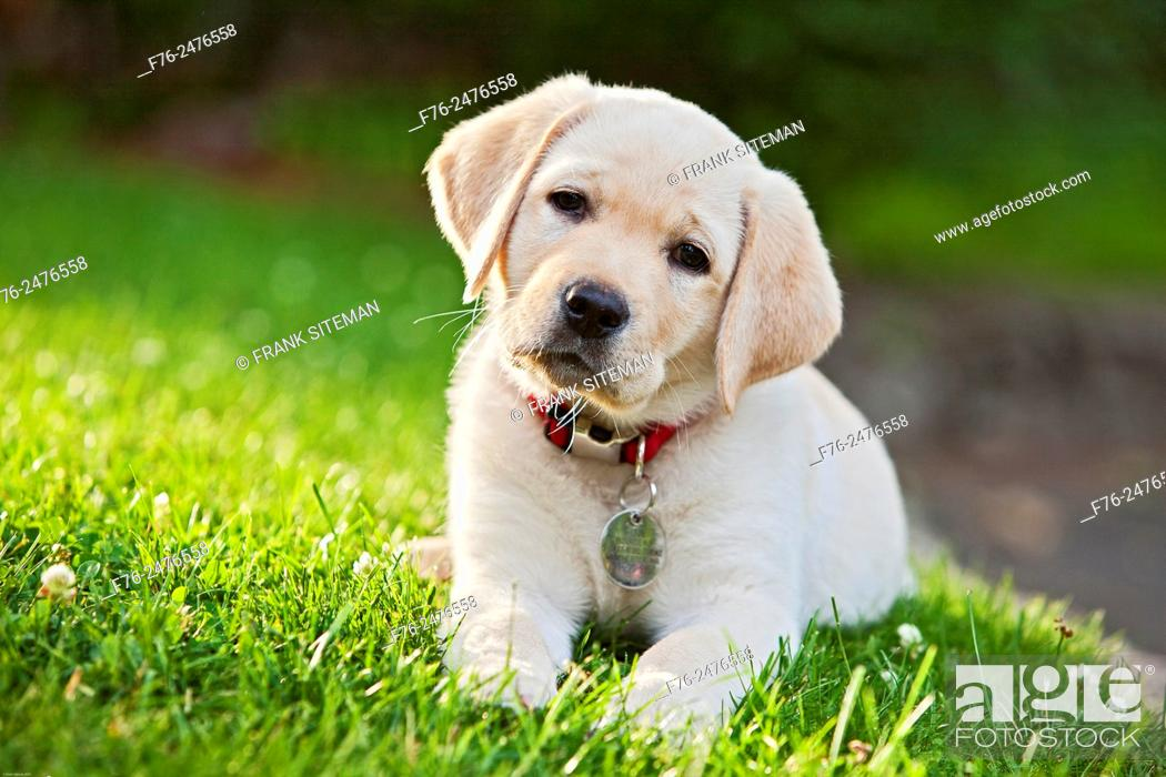 Stock Photo: portrait of a 10 week old yellow labrador retriever puppy sitting on grass looking up. mr 4862.