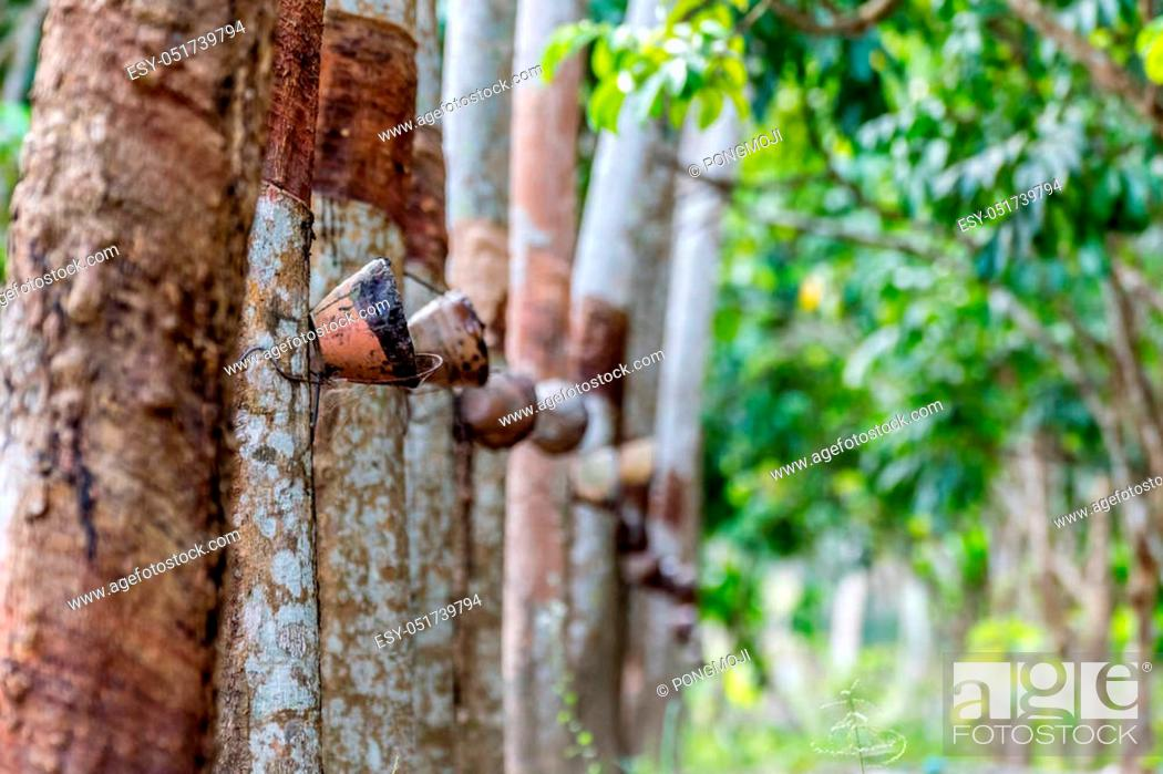 Stock Photo: Rubber tree in row at a rubber tree plantation natural latex is a agriculture harvesting natural rubber in white milk color for industry in Thailand.