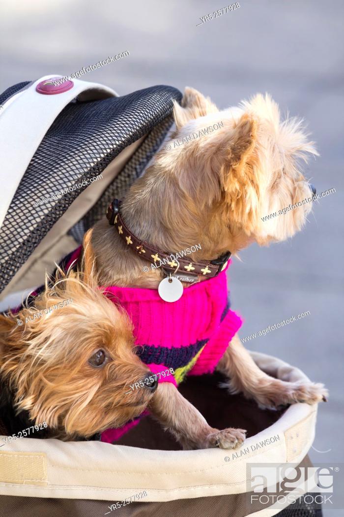 Yorkshire Terrier Being Carried In Bag In Las Palmas Gran Canaria