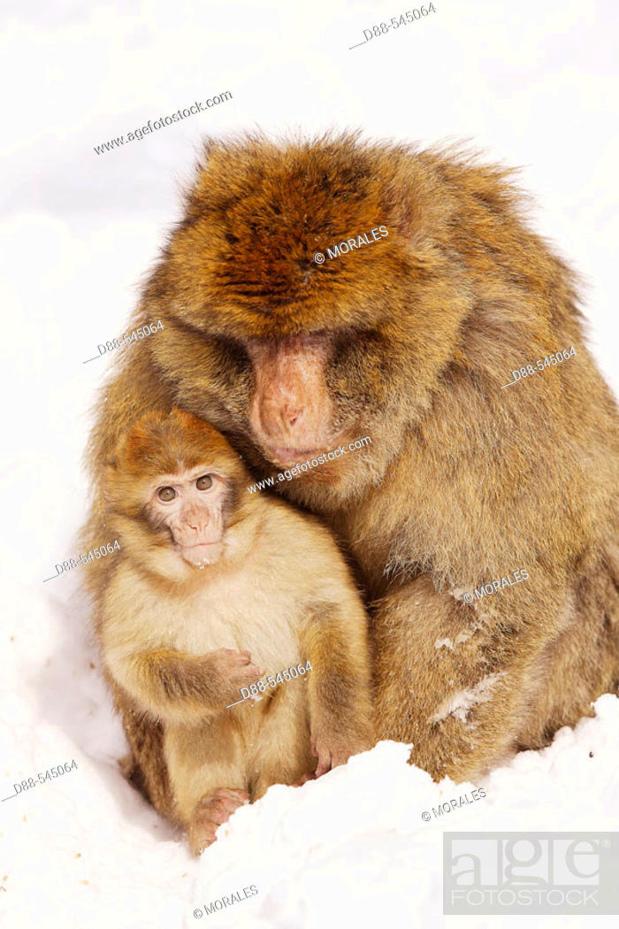 Stock Photo: Barbary Macaque (Macaca sylvanus). La Montagne des Singes. Kintzheim. Alsace. France.