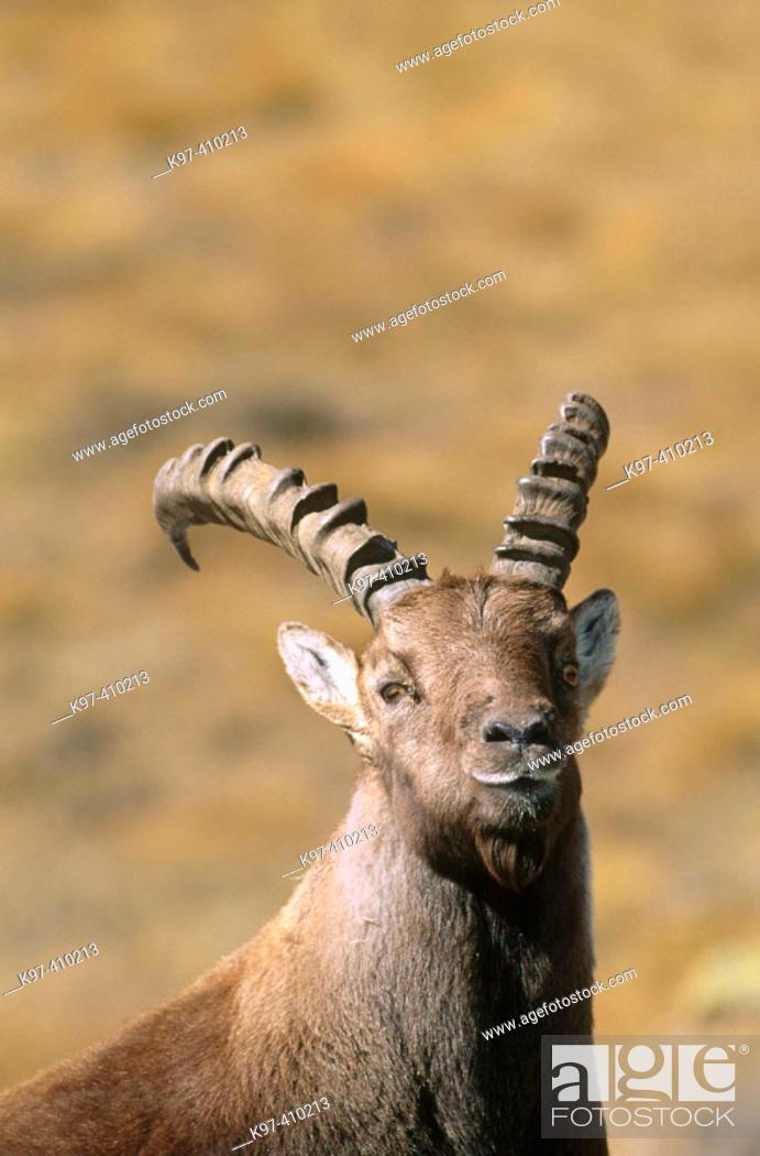 Stock Photo: Ibex (Capra ibex). Gran Paradiso National Park, Italy.