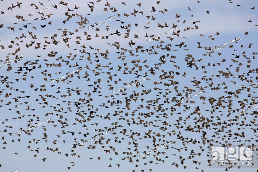 Stock Photo: Blackbird flock; Red-winged Blackbird (Agelaius phoeniceus) & Brown-headed Cowbird (Molothrus ater) Texas, Floyd Co.