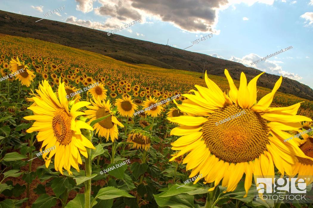 Stock Photo: Sunflowers (Helianthus); Fields of sunflowers in bloom in Sacecorbo, Guadalajara, Spain.