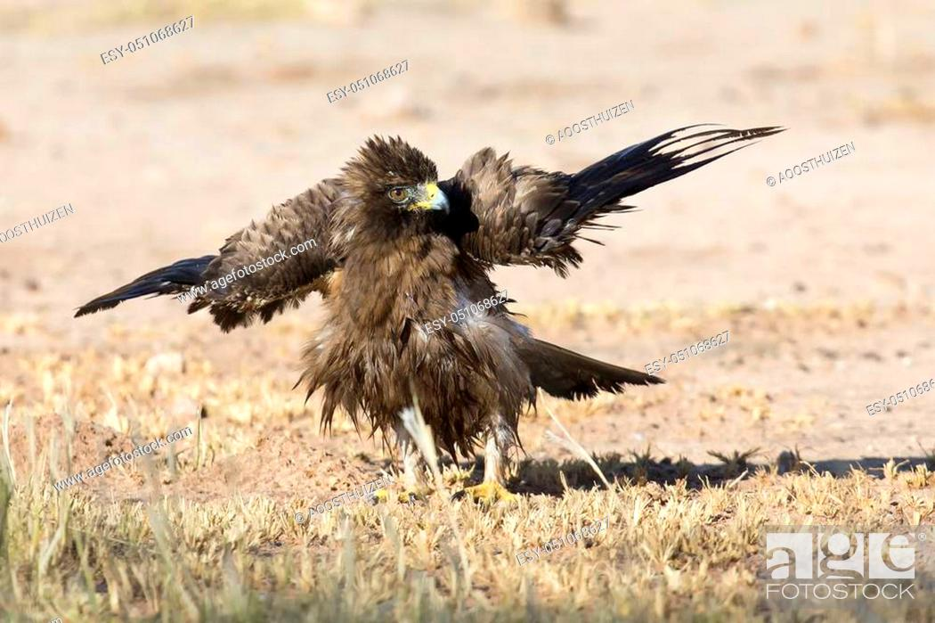 Stock Photo: Wet Booted Eagle sit on the ground to dry out after a bath before it take off again.