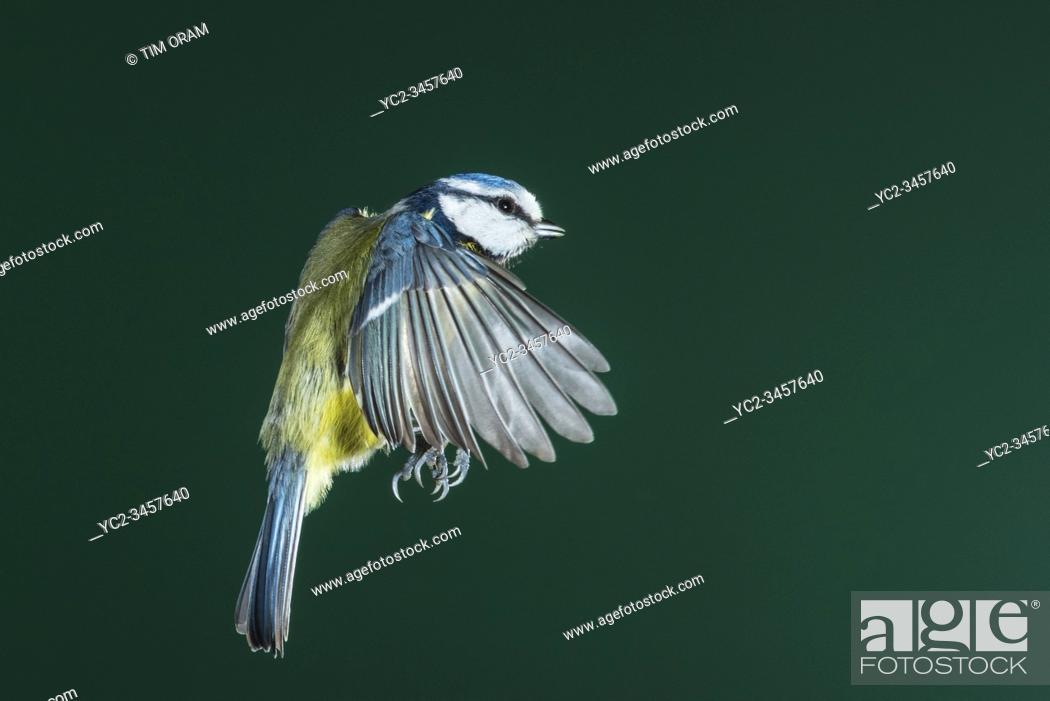 Stock Photo: A Blue Tit (Parus caeruleus) photographed using High speed flash in free flight in the Uk.