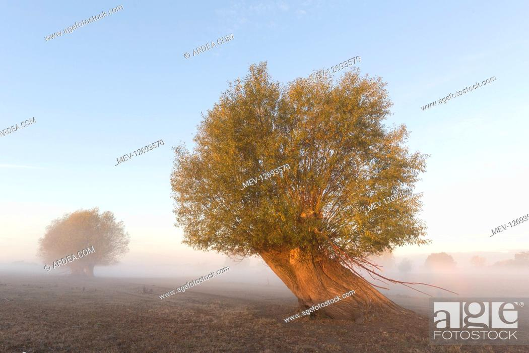 Stock Photo: White Willow - tree in morning fog - Germany.