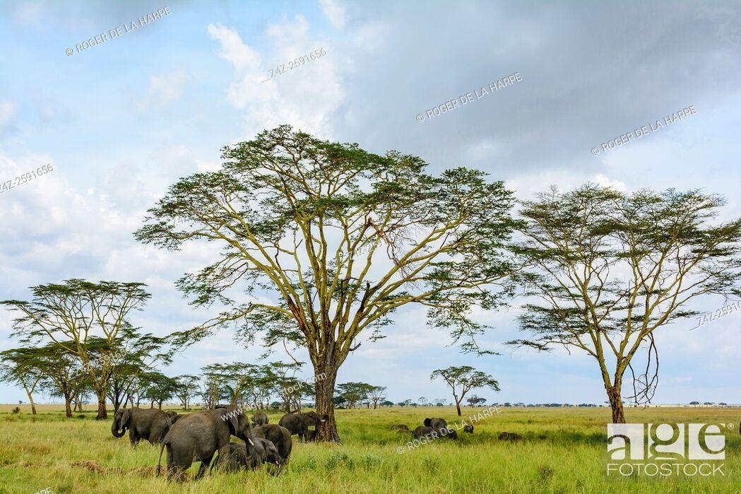Imagen: African Bush Elephant (Loxodonta africana) and Fever Tree (Vachellia xanthophloea prev Acacia xanthophloea). Serengeti National Park. Tanzania.