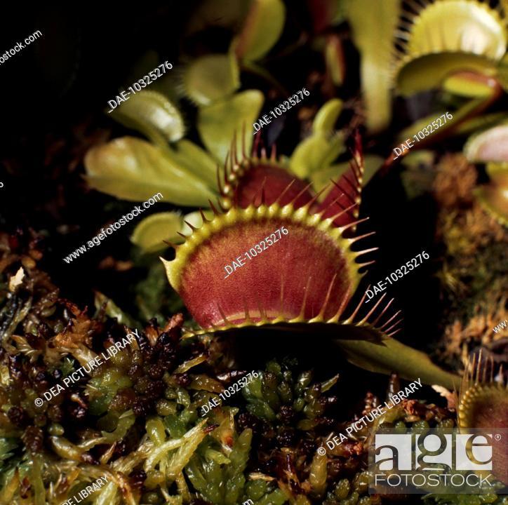 Stock Photo: Venus flytrap (Dioanea Mascipula), Droseraceae.