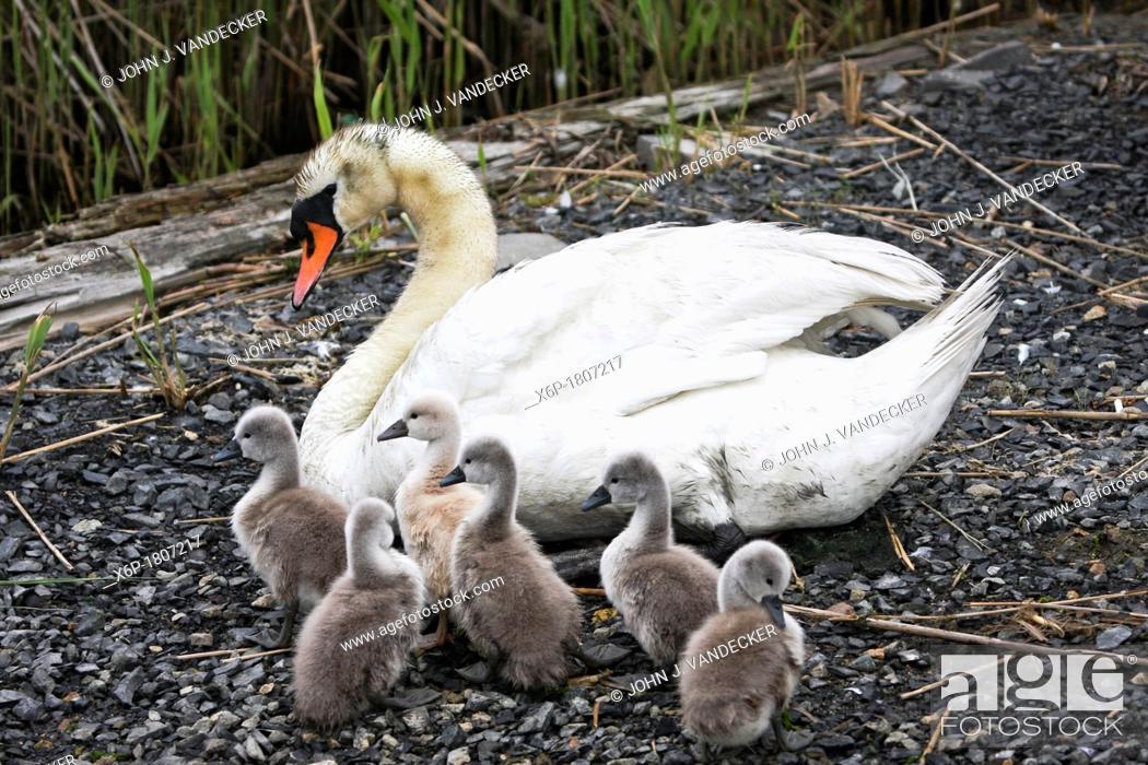 Stock Photo: Mute Swan, Cygnus olor, with brood  Richard DeKorte Park, Lyndhurst, NJ, USA.