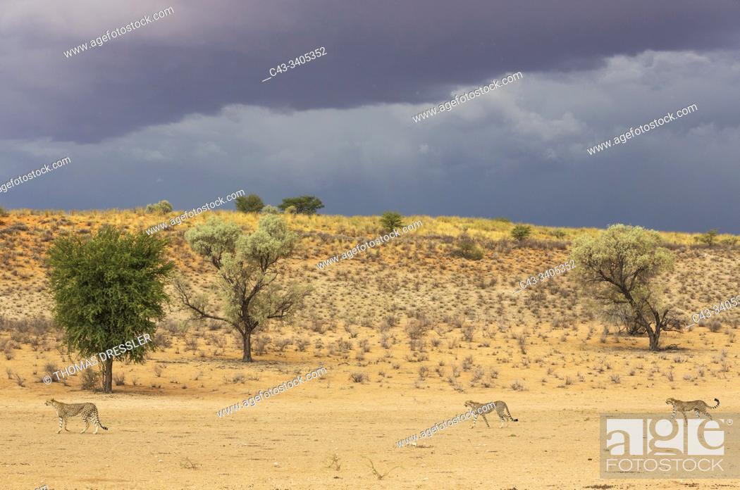Stock Photo: Cheetah (Acinonyx jubatus). Female walking in front of her two subadult male cubs in the dry and barren Auob riverbed. Behind them a thunderstorm.