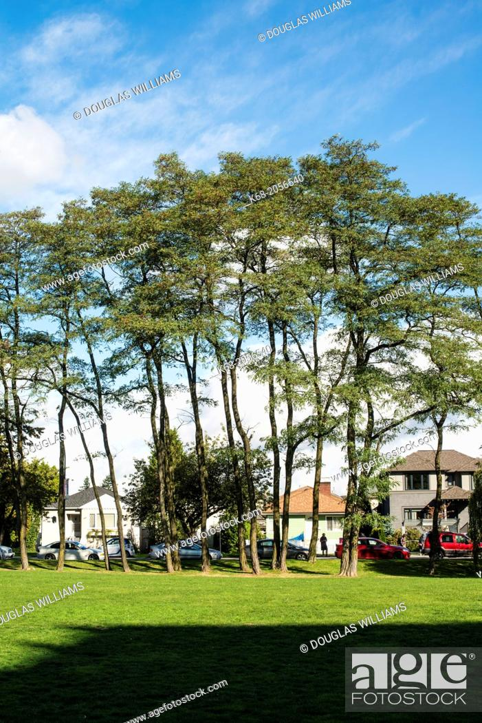 Stock Photo: trees at the campus of Langara College, on 49 Avenue, Vancouver, BC, Canada.