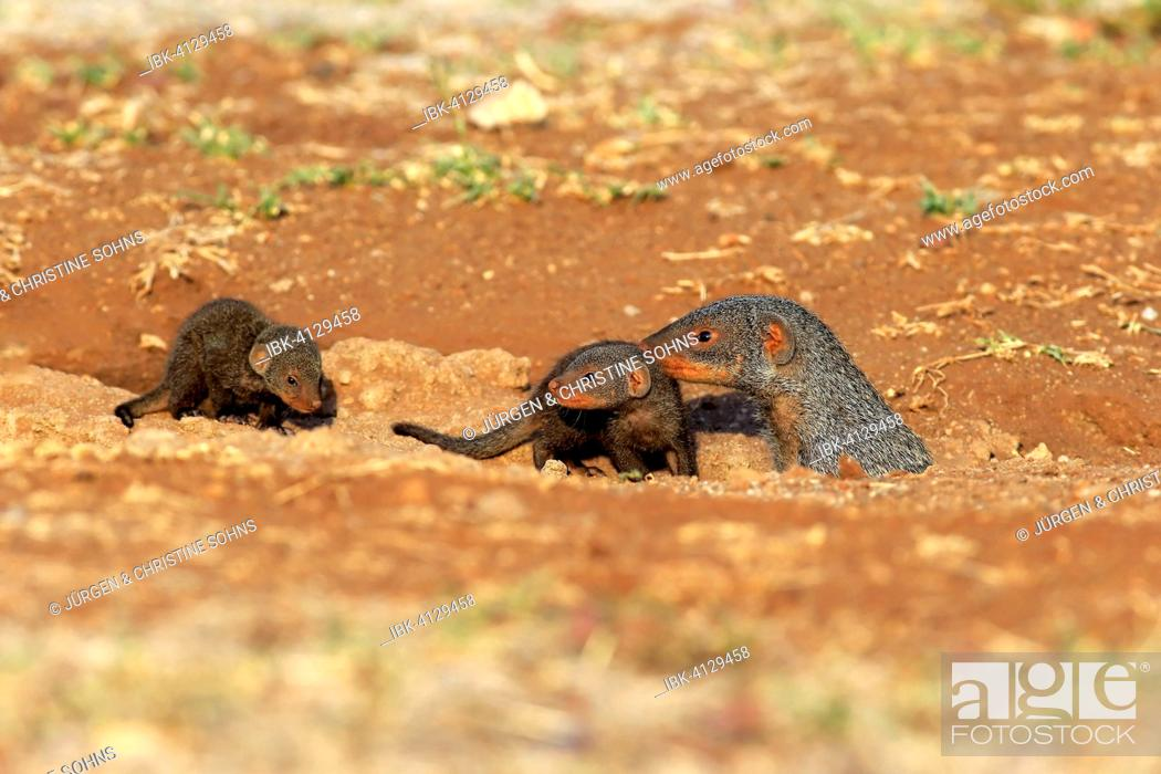 Stock Photo: Banded Mongoose (Mungos mungo), adult with pups, at the den, Kruger National Park, South Africa.
