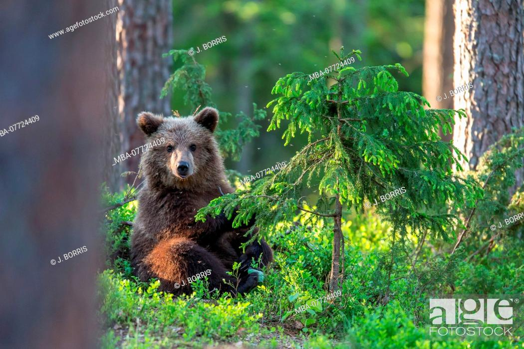 Stock Photo: Brown bear, Ursus arctos, wildlife, Finland.