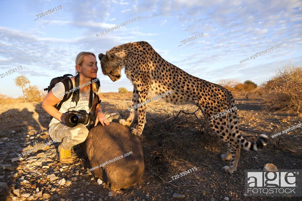 Imagen: Tourist and tame Cheetah, Acinonyx jubatus, Kalahari Basin, Namibia.