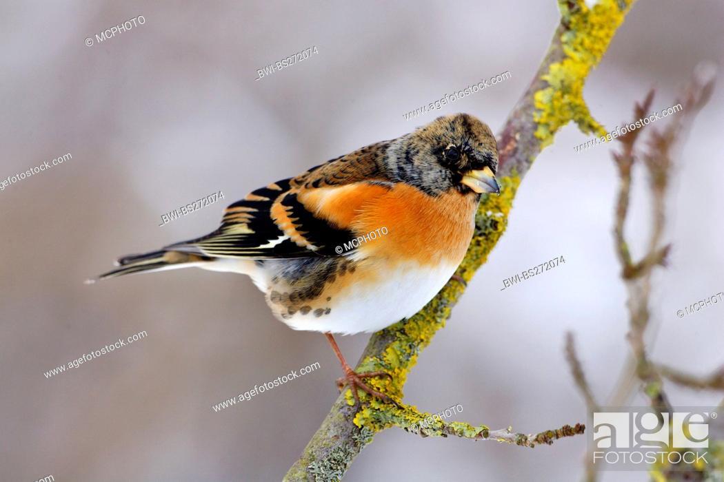 Stock Photo: brambling Fringilla montifringilla, male sitting on a branch in winter, Germany.