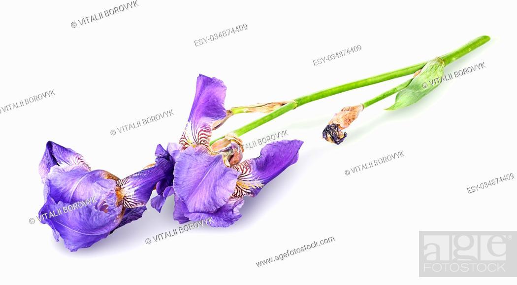 Stock Photo: Single iris flower lying isolated on white background.