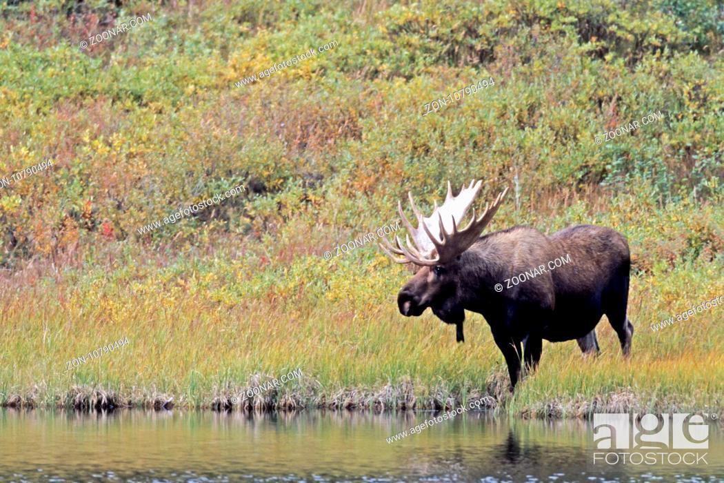 Stock Photo: Elche sind sehr gute Schwimmer - (Alaska-Elch - Foto Elchschaufler an einem Tundrasee) / Moose are excellent swimmers - (Alaska Moose - Photo bull Moose in.